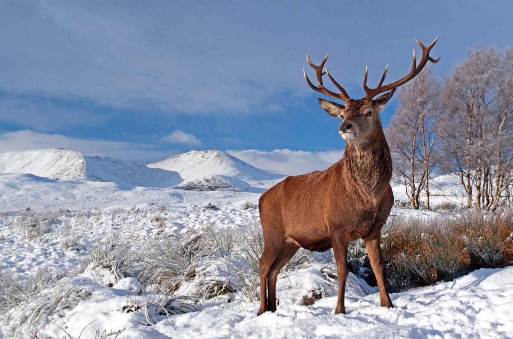 1320599077_Deer-Glencoe